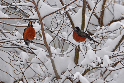 robins in tree